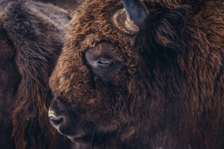 Why bison in the name of the race?